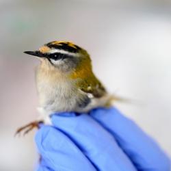 L'urbanisation, un (futur) piège pour les oiseaux migrateurs?