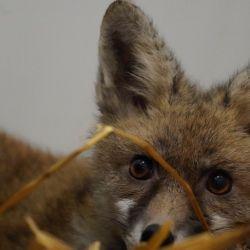 Un renard galeux au Centre de Soins pour la Faune Sauvage de Bruxelles