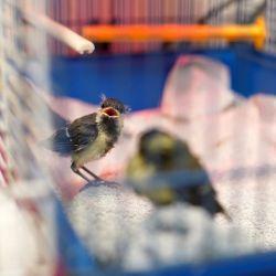 Les oisillons tombés au sol ne sont pas forcément en danger !