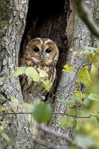 Un adulte posé à l'entrée d'une cavité dans un arbre. Ardenne - Belgique.