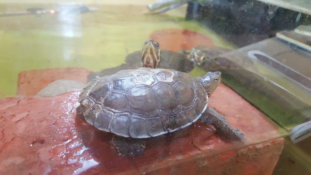 tortue_adoption042016