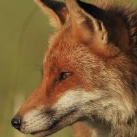Le renard, nouveau moyen de lutter contre la maladie de Lyme ?