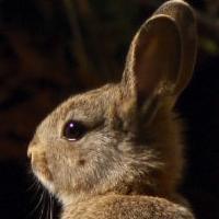 En Wallonie, les centres de revalidation ne peuvent relâcher légalement les lapins, les chevreuils et bien d'autres animaux… Cela doit changer !