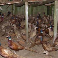 Cinquième dérive de la chasse en Wallonie : L'introduction de perdrix et de faisans d'élevage pour la chasse (5/5)