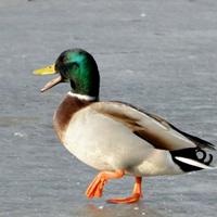 Un froid de canard…