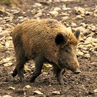 Troisième dérive de la chasse en Wallonie : Le nourrissage du sanglier (3/5)