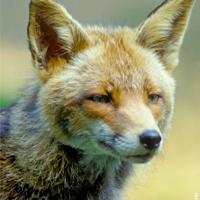 La présence du Renard roux (Vulpes vulpes) diminue le risque pour l'homme de contracter la maladie de Lyme.  Cet animal doit être protégé.