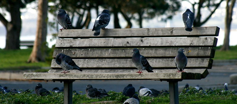 Pigeons en ville