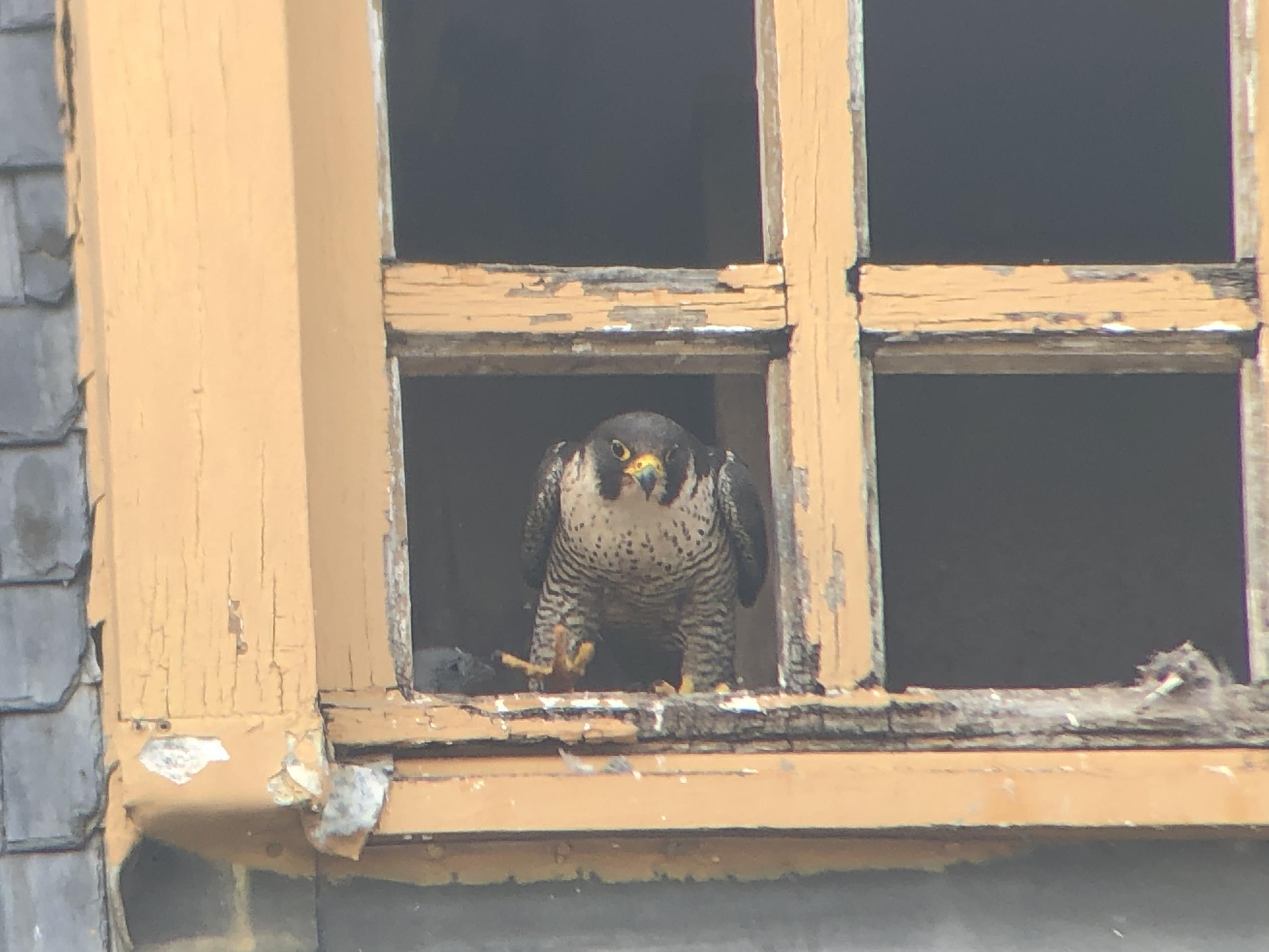 Femelle Faucon pèlerin à la sortie du nid - Bruxelles