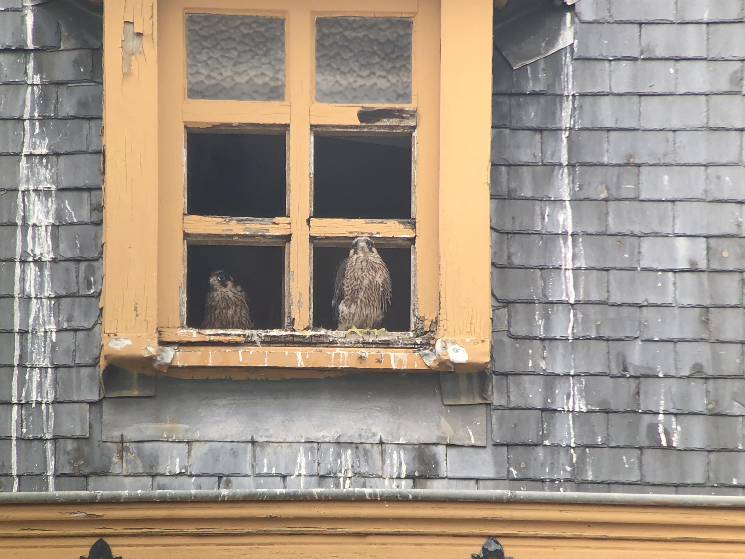 Deux jeunes Faucons pèlerins à la sortie du nid - Bruxelles