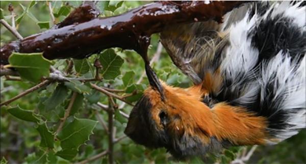 La LPO française contre la chasse d'oiseaux en déclin!