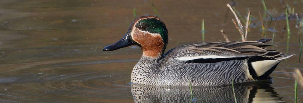Nouvelle victoire historique de la Ligue Royale Belge pour la Protection des oiseaux contre la Chasse ! Le Conseil d'Etat annule l'Arrêté du Gouvernement Wallon fixant les dates de la chasse.