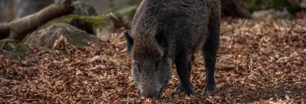 La Cour d'appel de Liège condamne 3 chasseurs pour pratiques illégales de la chasse !