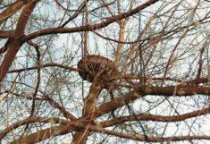 Panier de nidification rapace