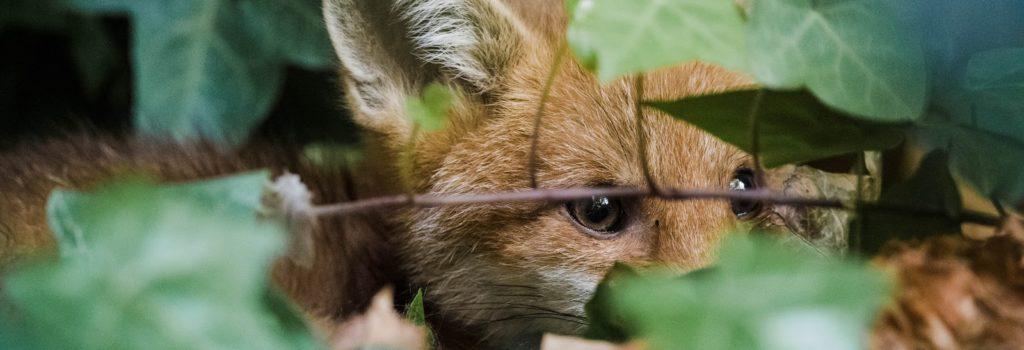 Un couple de bruxellois sauve deux renardeaux pris au piège dans leur jardin