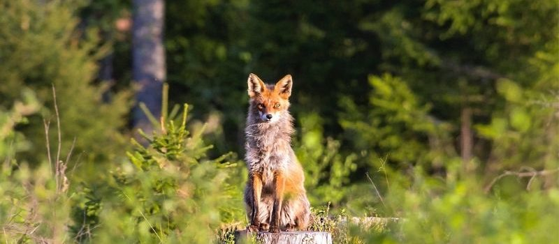 L'illogique chasse au renard !
